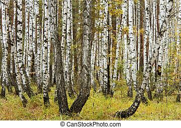 Autumn in a birch forest