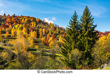autumn in mountainous rural area. two huge spruce trees in...