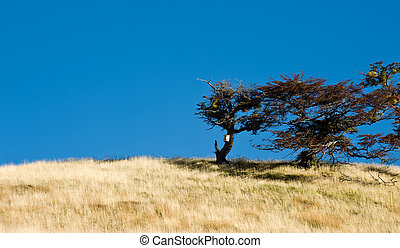 Autumn in Patagonia. Tierra del Fuego. Tree Growing in the wind