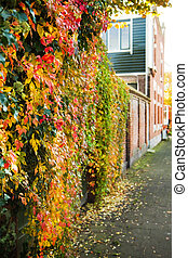 Autumn in the city - Virginian creeper on a wall