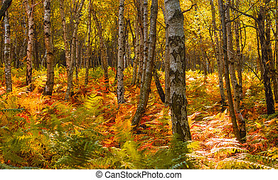 autumn in the forest - birch grove with ferns