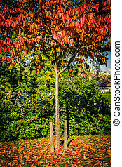Autumn in the park, red Japanese maple tree beautiful background