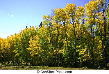 Autumn in the Rockies - Golden aspens herald the advent of ...