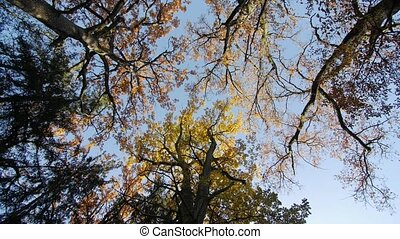 Autumn in the treetops, bottom view, oaks