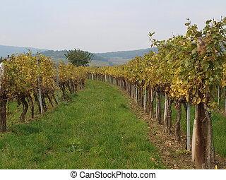 Autumn in the vineyard, Lower Austria