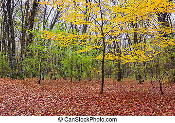 Autumn in the woods with yellow trees and fallen leaves red