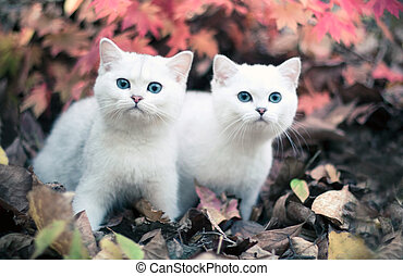 Lovely chinchilla kittens walking in a mysterious autumn forest