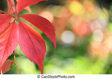 Autumn - Landscape format image of red autumn leaves set to...