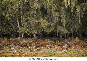 Autumn landscape image of red deer cervus elaphus in forest woodland