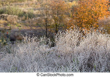 grass in hoarfrost after freezing