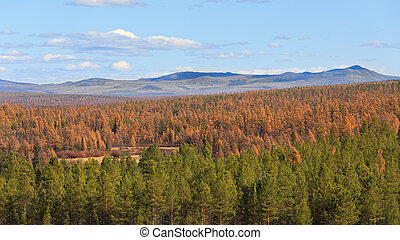 Autumn landscape with green pines and yellow larches