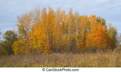 Yellow and orange leaves on the trees in a small grove -...