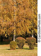 Autumn landscape. Yellow birch tree in the park