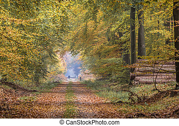Autumn lane with towering Beech trees (Fagus sylvatica) in...