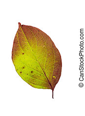 An isolated autumn leaf in bright colors.