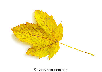 autumn leaf - autumn maple leaf isolated on white background...