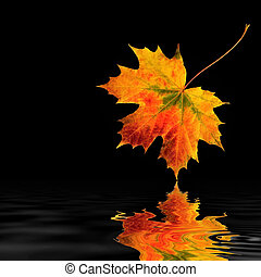 Maple leaf abstract in vivid colors of fall with reflection in rippled water, over black backgorund.