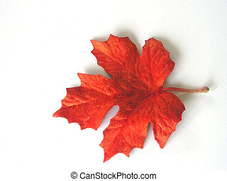 Closeup of a colorful autumn leaf on white.