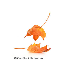 autumn leaf colors isolated for background