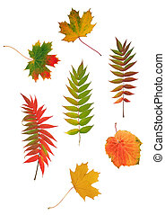 Autumn leaf design of rowan, grape and maple leaves. Over white background.