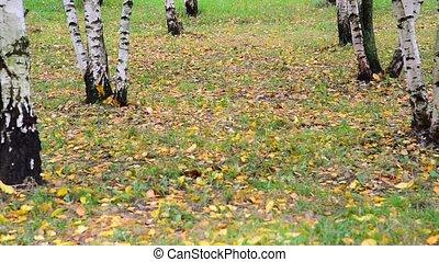autumn leaf fall in a birch grove, Russia - autumn leaf fall...