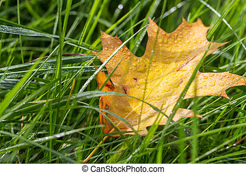 Autumn leaf in the grass