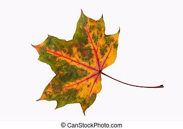 autumn leaf (isolated)