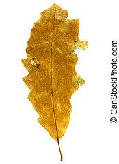 Autumn leaf isolated on white