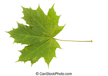 Autumn leaf isolated over white background