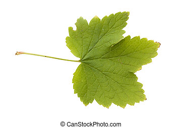 The autumn leaf isolated over white background