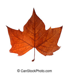 Autumn leaf isolated over white with clipping path