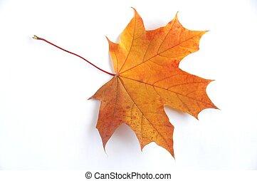 Autumn Leaf - Leaf on white background.