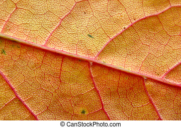 autumn leaf macro #4