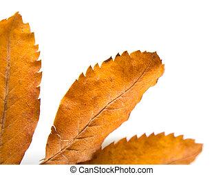 leaf of a mountain ash