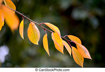 autumn leaf of cherry tree, season concept,