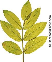 Autumn  leaf  on white background. Vector illustration.