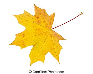 Autumn leaf on white