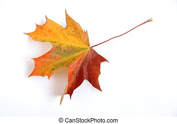 Autumn Leaf - Leaf on white background