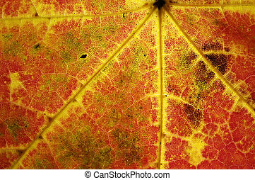 Autumn leaf veins