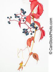 autumn leaf with berries isolated