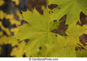 autumn leaf yellow maple in the Park