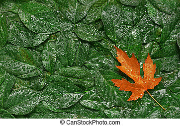 autumn leaves after a rain close up