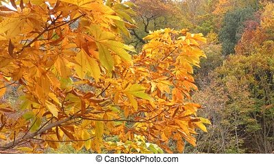 Autumn leaves - Autumn japanese horse chestnut...
