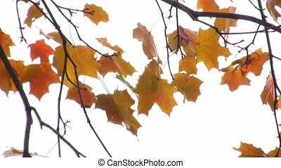 autumn leaves - Autumn leaves.