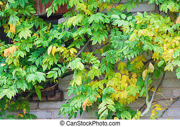 autumn leaves background on wall building in garden area