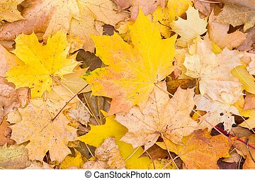 Autumn leaves background, sycamore maple in fall - Autumn ...