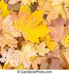 Autumn leaves background, sycamore maple leaf in fall - ...