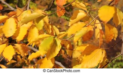 Autumn leaves  - Breeze sways autumn leaves in the forest