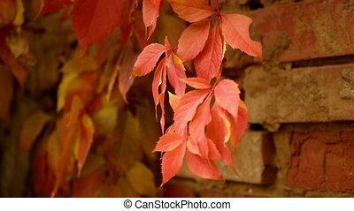 Autumn leaves close up - Close up of beautiful autumn fence...