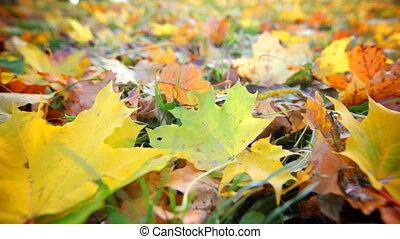 Autumn Leaves, Close up